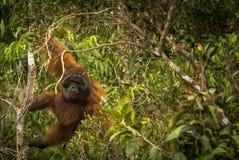 Een grote mannelijke orangoetan die indrukwekkende bewegingen maken Royalty-vrije Stock Fotografie