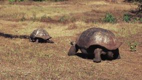Een grote mannelijke reuzeschildpad achtervolgt een wijfje op islasanta cruz in de Galapagos stock videobeelden