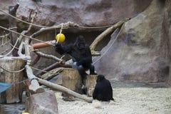 Een grote mannelijke zwarte gorillazitting zoals een werkgever in een krachtige positie in dierentuin stock afbeelding