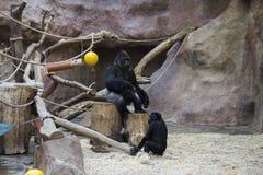 Een grote mannelijke zwarte gorillazitting zoals een werkgever in een krachtige positie in dierentuin royalty-vrije stock foto