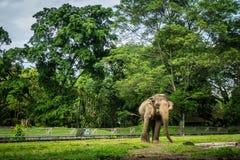Een grote olifant in de kooi met pool het omringen door omheining en bomenfoto die in Ragunan-dierentuin Djakarta Indonesië wordt stock afbeeldingen