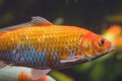 Een grote oranje vis in een aquarium royalty-vrije stock fotografie