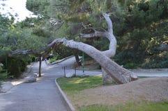 Een grote oude pijnboomboomstam leunde over de steeg in het Park Royalty-vrije Stock Foto's