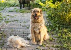 Een grote pluizige gelukkige hond zit na in openlucht het afwerpen van hun wol royalty-vrije stock foto