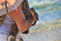Een grote python tam in menselijke handen Stock Foto's