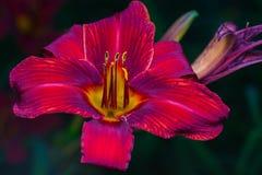 Een grote rode bloem Stock Foto's