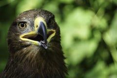 Een grote roofvogel op een groene natuurlijke achtergrond royalty-vrije stock foto's