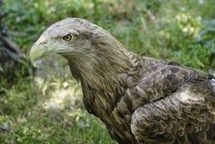 Een grote roofvogel op een groene natuurlijke achtergrond stock fotografie