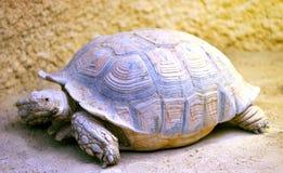 Een grote schildpad Royalty-vrije Stock Afbeelding