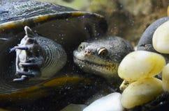 Een grote schildpad die onder het water in een aquarium in de dierentuin drijven stock foto