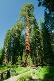 Een grote sequoiaboom Royalty-vrije Stock Foto