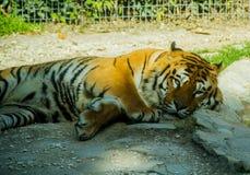 Een grote slaperige tijger Stock Afbeelding