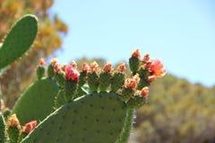Een grote struik van bloeiende cactus Royalty-vrije Stock Afbeeldingen