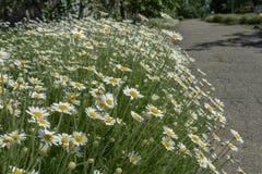 Een grote struik van bloeiende madeliefjes dichtbij een asfaltweg royalty-vrije stock foto's
