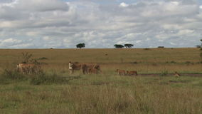 Een grote troep leeuwen die zich in de vlaktes bewegen stock footage