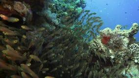 Een grote troep van ransonneti van Parapriacanthus van de vissen Dwergveger op een achtergrond van een koraalrif Rode Overzees Eg stock video