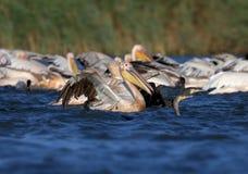 Een grote troep van witte pelikanen en aalscholvers die samen vissen vangen stock afbeelding