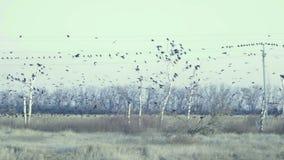Een grote troep van zwarte vogels die en op de machtslijnen vliegen zitten stock video