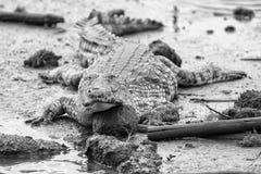 Een grote vette krokodil die op de modder bij een vijver in artistiek rusten bedriegt Stock Afbeeldingen