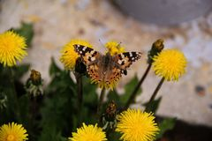 Een grote vlinder zit op een gele paardebloembloem royalty-vrije stock fotografie