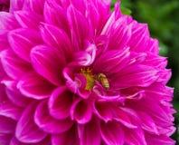 Een grote vrij roze dahlia en een bij Stock Foto