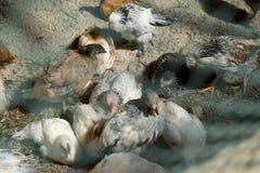 Een grote witte kippenbeginnelingen Royalty-vrije Stock Foto