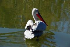 Een grote witte pelikaan gaat het meer in Stock Foto