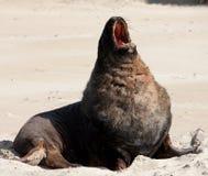 Een grote Zeeleeuw die van Nieuw Zeeland en zich bij een strand bij de Baai van Surat in Catlins in het Zuideneiland geeuwen uitr stock foto's