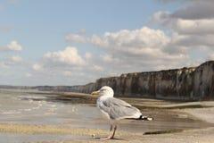 Een grote zeemeeuwmacro voor de klippenkust in Normandië royalty-vrije stock foto