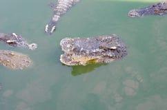 Een grote zoetwaterkrokodil, Enge krokodillen in water Royalty-vrije Stock Afbeelding