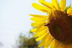 Een grote zonbloem en een honingbij stock foto's