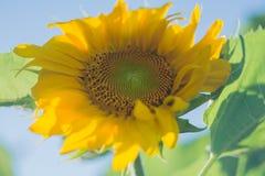 Een grote zonnebloemtuin royalty-vrije stock afbeeldingen