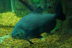 Een grote zwarte grijze vis die in het water bij de bodem zwemmen stock foto's