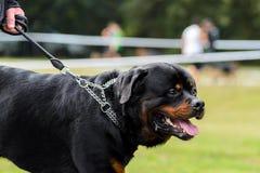 Een grote zwarte hond op leiband, zijaanzicht royalty-vrije stock afbeelding