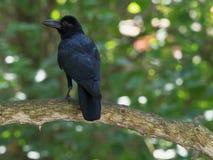 Een grote zwarte raaf zit op een boomtak in het bos, met zijn rug, zijn de vleugels en de staart zichtbaar, wordt het hoofd gedra Royalty-vrije Stock Foto's