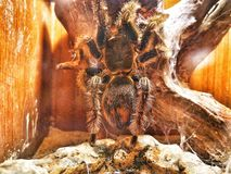 Een grote zwarte spin met harige lange benen Het beweegt zich langzaam en stil, toppositie warme boom stock foto's