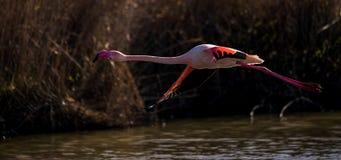 Een grotere flamingo tijdens de vlucht Royalty-vrije Stock Fotografie
