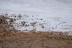 Een Grotere Yellowlegs die op de bank van een meer lopen stock fotografie