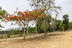 Een gulmohar boom op de weg stock afbeelding