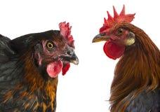 Een haan en een kip Stock Foto's