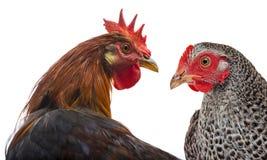 Een haan en een kip Royalty-vrije Stock Afbeelding