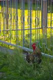 Een haan in het landbouwbedrijf in Rusland stock fotografie