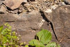 Een hagedis op een rots Stock Foto