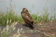 Een Hamerkop-vogel Stock Foto