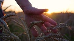 Een hand raakt de oren van tarwe op een gebied De zon` s stralen door uw vingers Zonsondergang stock videobeelden