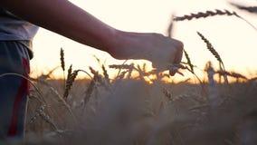 Een hand raakt de oren van tarwe op een gebied De zon` s stralen door uw vingers Zonsondergang stock video