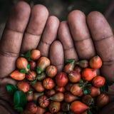 een Handhoogtepunt van Granaatappelbloemen royalty-vrije stock afbeeldingen