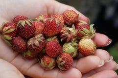 Een handvol aardbeien! Stock Afbeelding