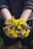 Een handvol gele paardebloemen Royalty-vrije Stock Foto's