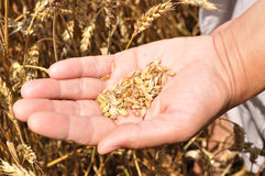 Een handvol korrels van tarwe op hand Stock Foto's